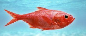 Морський окунь - склад, корисні властивості і шкода
