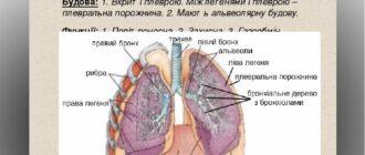 Будова легень