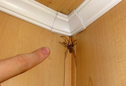 Домашні павуки