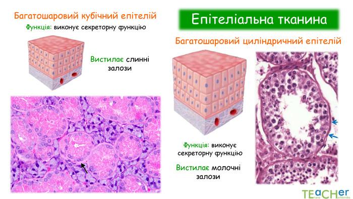 Що таке епітеліальна тканина