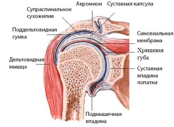 Будова плечового суглоба