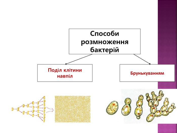 Розмноження бактерій