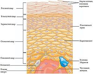 Будова шкіри епідерміс
