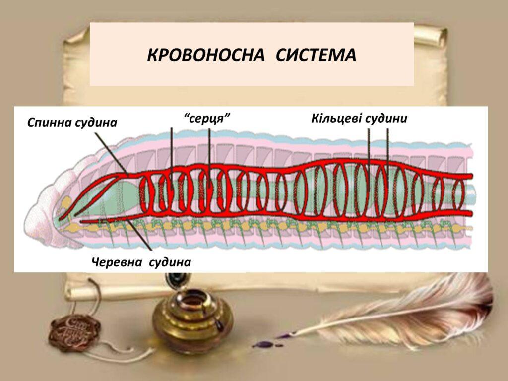 Кровоносна система кільчастих червів