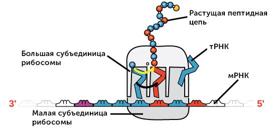 Будова і властивості РНК
