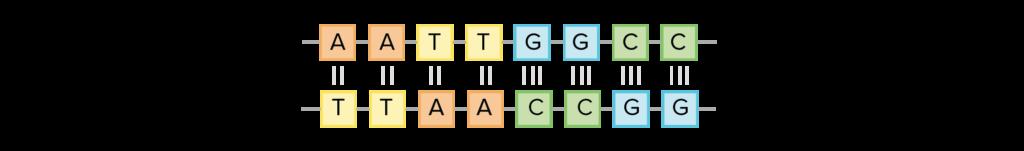 Будова ДНК