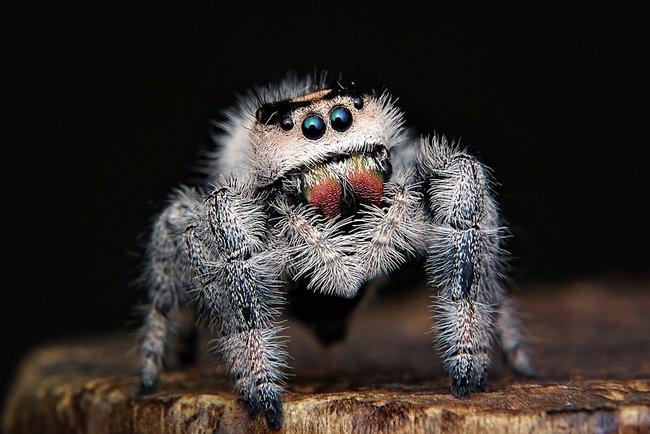 Домашні павуки україни
