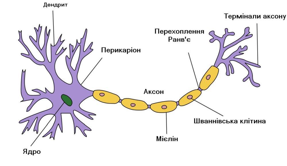 Будова нейрона