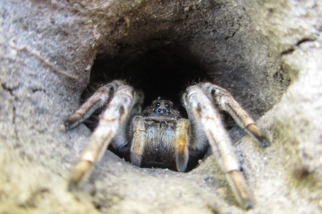 Отруйні павуки україни