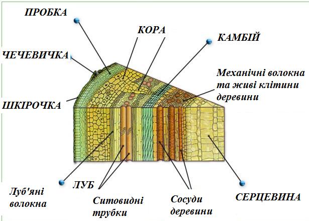З чого складається будова стебла