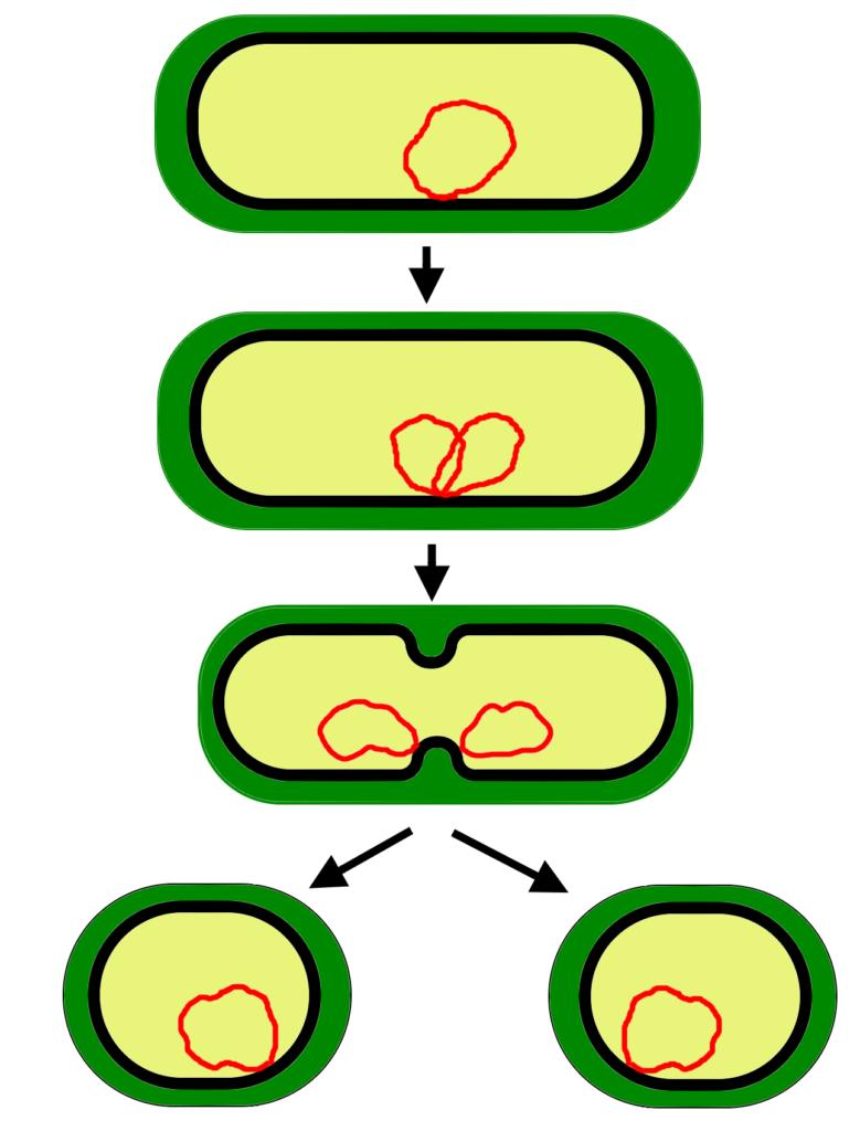 Нестатеве розмноження клітин