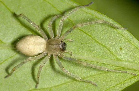 Ядовиті павуки україни