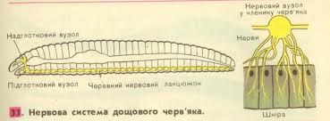 Нервова система дощового черв'яка