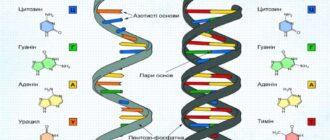 Будова ДНК і РНК властивості та функції