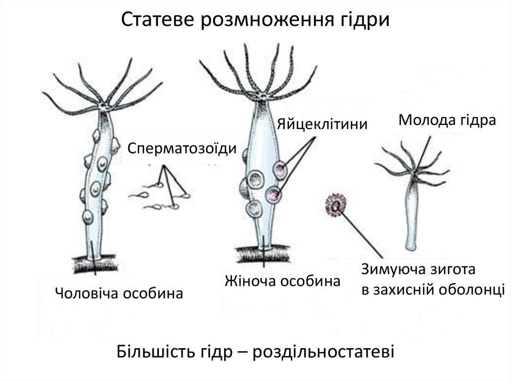 Розмноження гідри