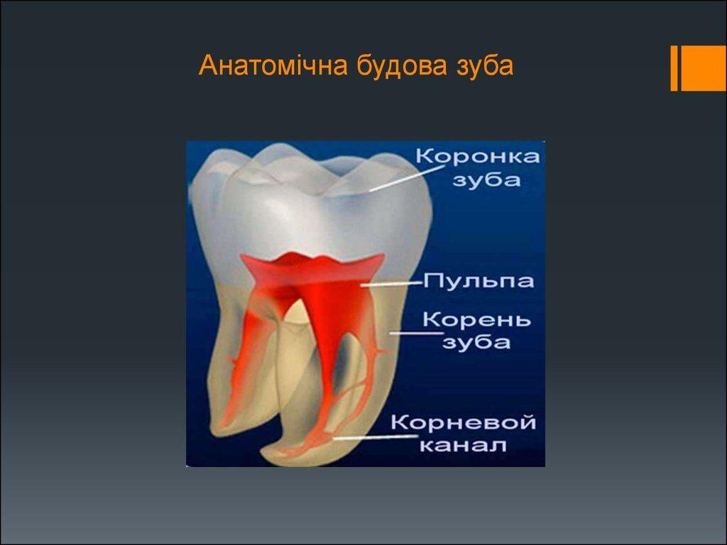 Анатомічна будова зуба