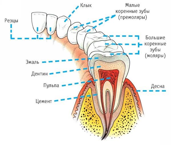 Будова молочних зубів