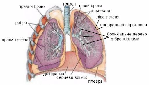 Легені будова