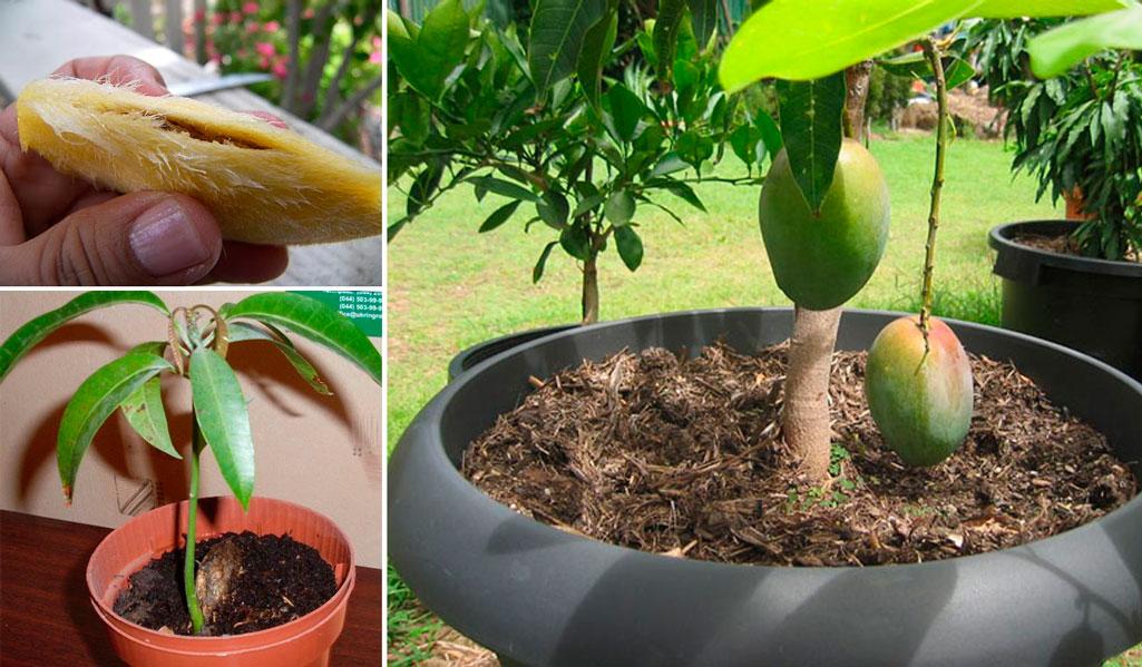 Як посадити манго