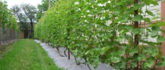 Як посадити виноград