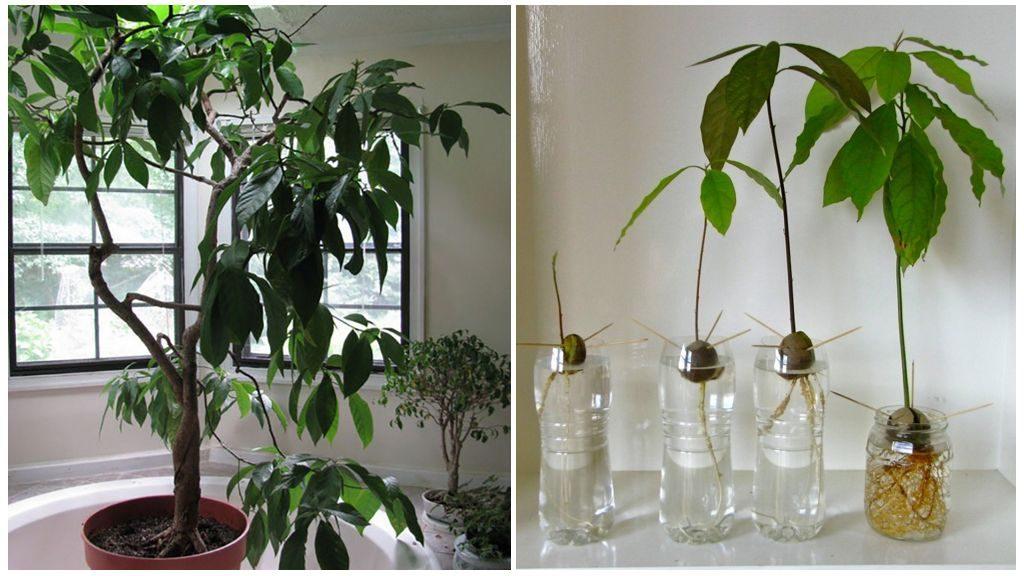 Як посадити авокадо